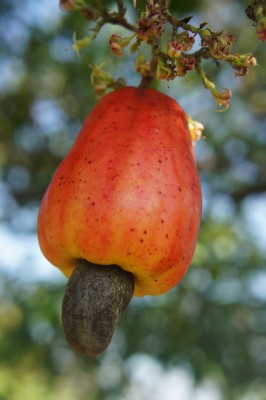 Fruit of the cashew tree (maranyon)