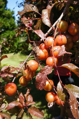 Plums on the side of the road