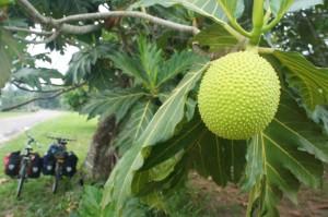 Bread fruit tree, Belize