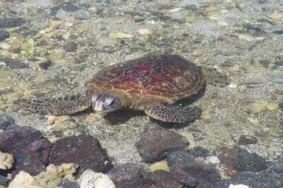 Sea Turtle, at Puako