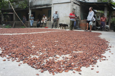 Cacao beans drying in the sun, Belize